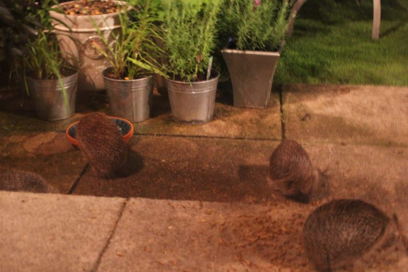 Hedgehogs feeding in the garden