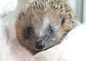 Iggy, a rescued orphaned European hedgehog