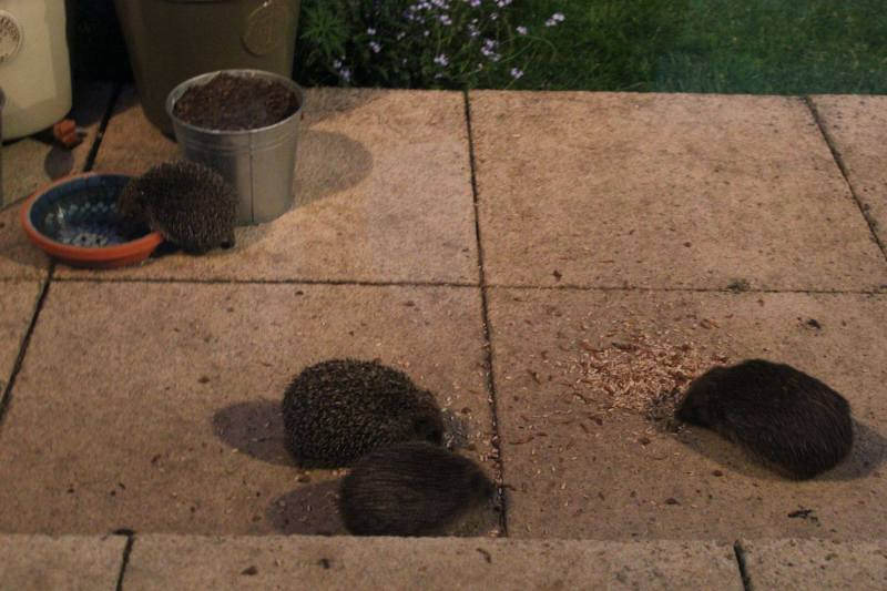 Feeding garden hedgehogs