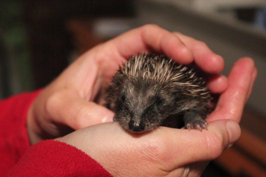 Baby wild European hedgehog hoglet