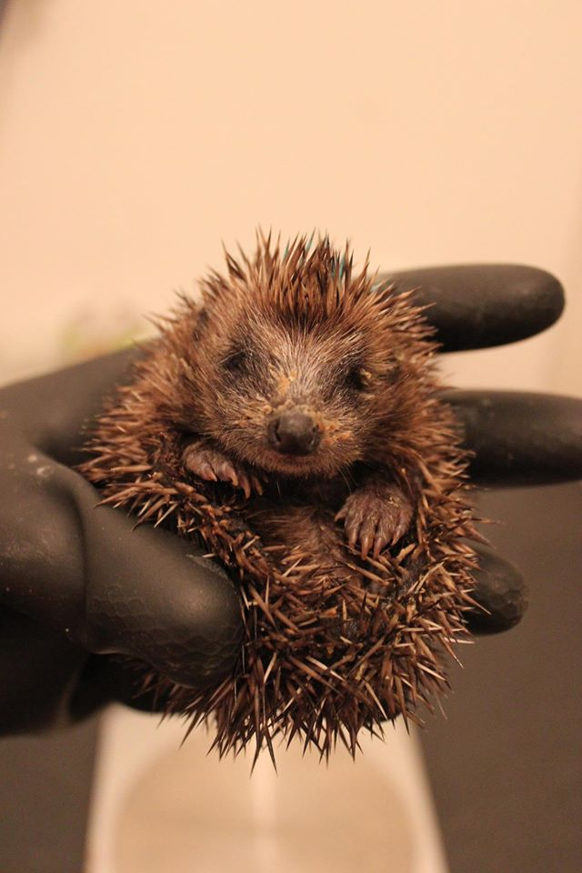 European hedgehog hoglet