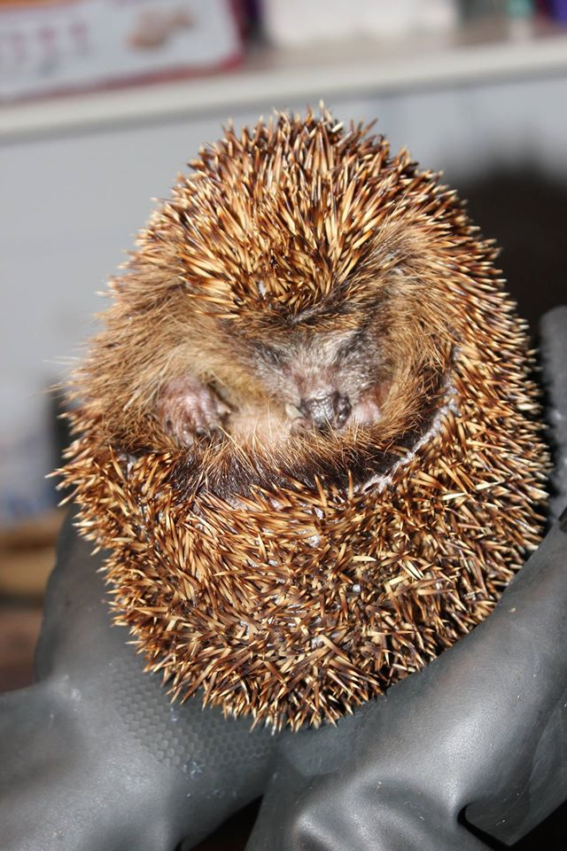 Elderly European hedgehog