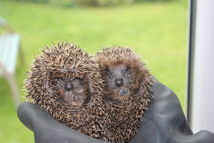 Hoglet heart Fred and Ginger June 2015.JPG