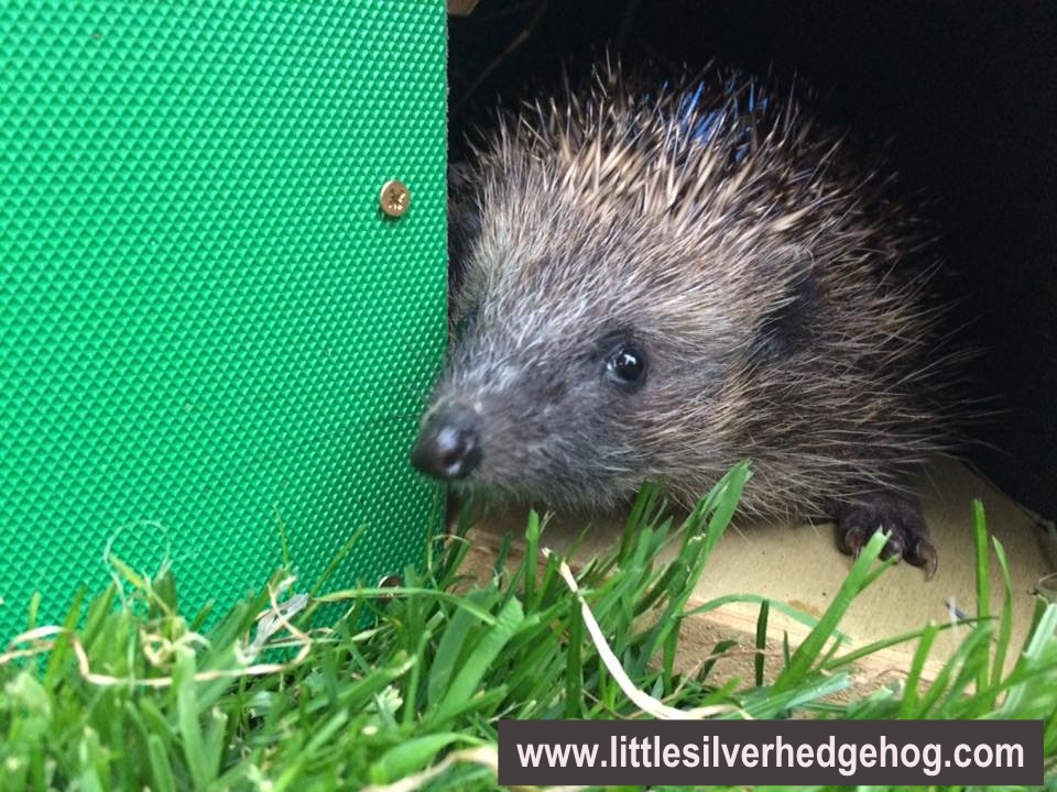 Wild hedgehog in hedgehog box