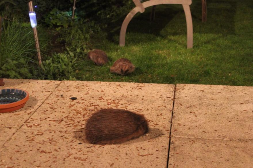 Hedgehogs feeding in garden