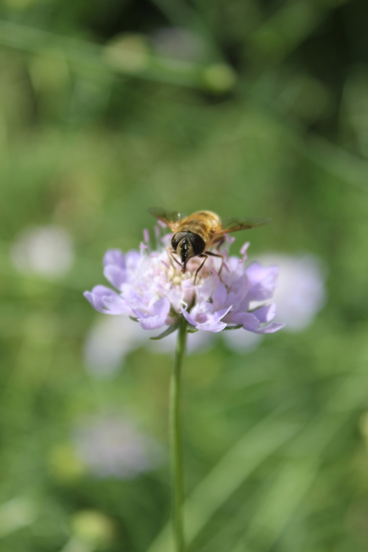 Solitary bee on scabious flower