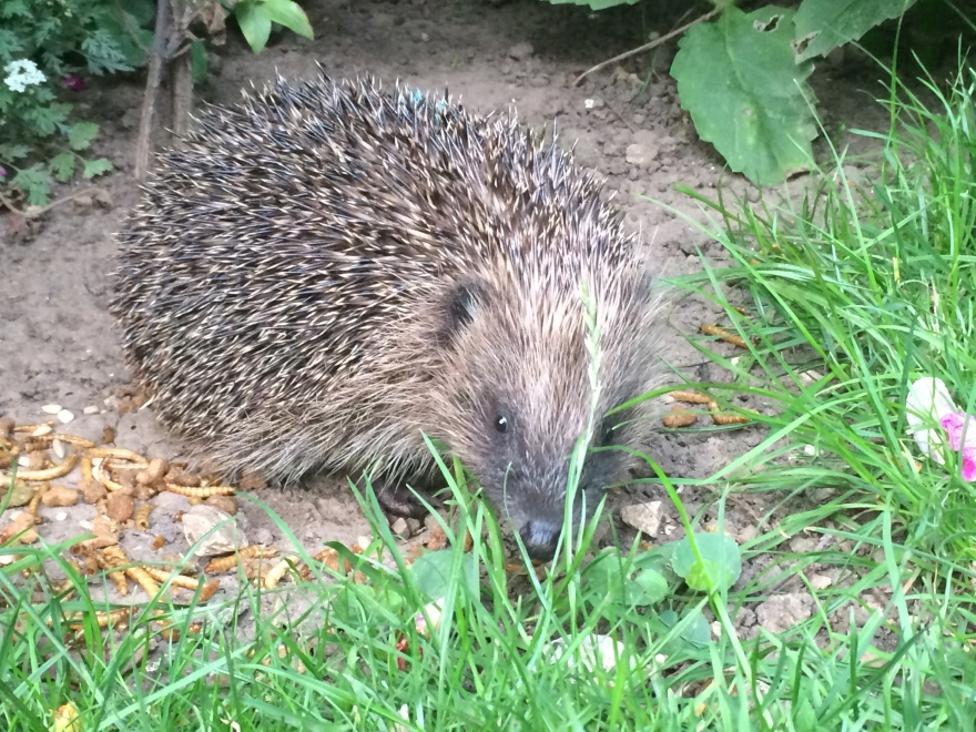 Wild european hedgehog