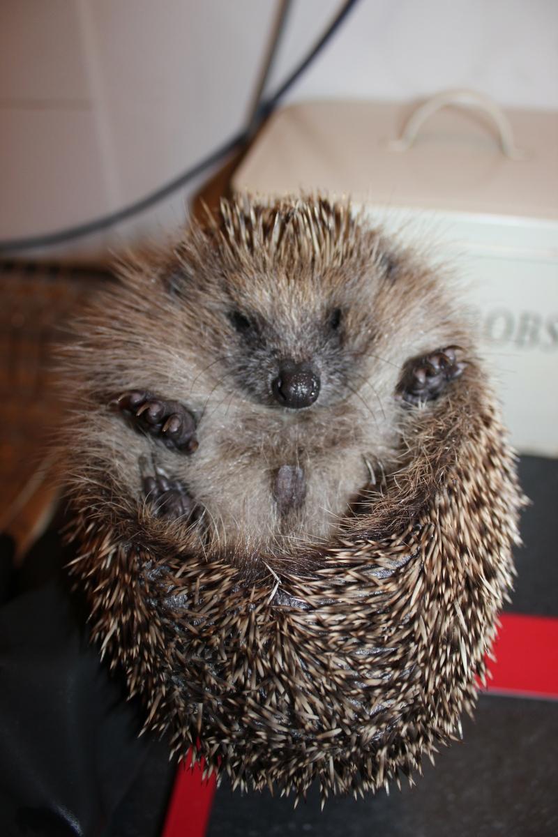 How to sex a hedgehog – littlesilverhedgehog