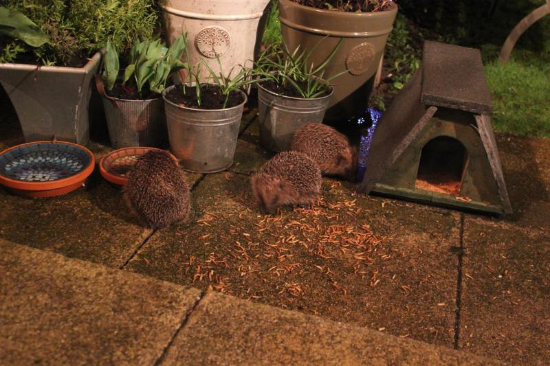 Hedgehogs feeding in garden