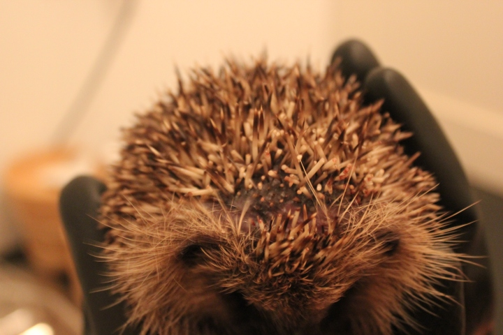strimmed-hedgehog-during-treatment