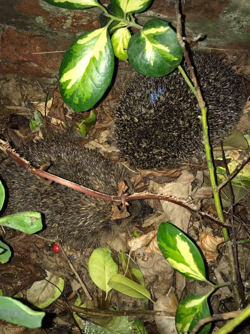 Wild hedgehogs courting