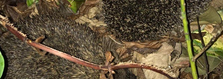 Wild hedgehogs courting hedgehog romance