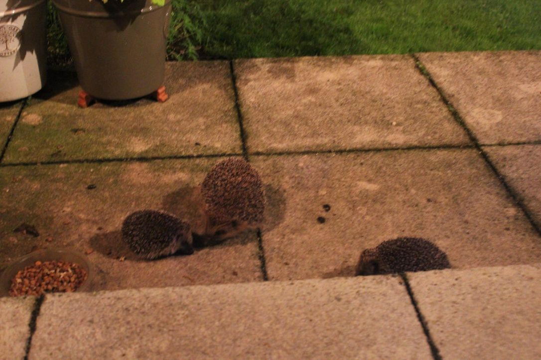 Mum and baby hedgehog on patio small