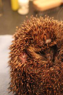 Wild hedgehog abscess