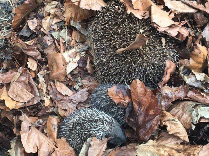 Hedgehog nest in pile of leaves