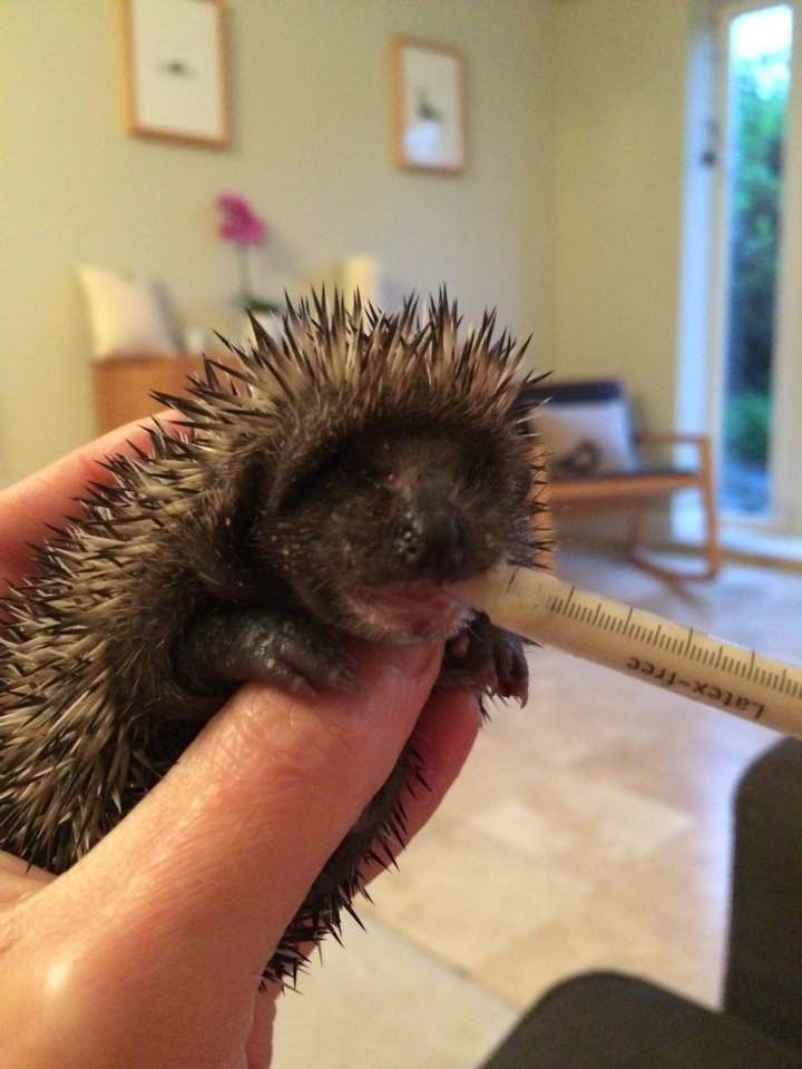 Hand feeding a hedgehog baby