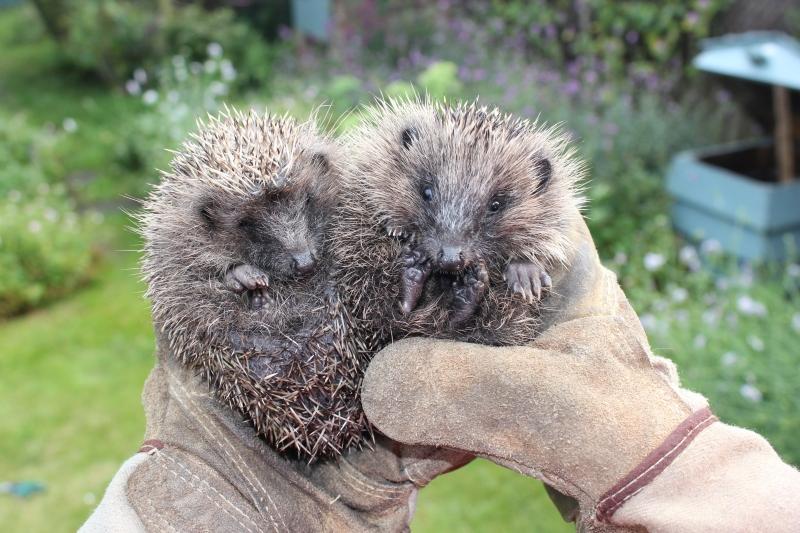 Wild hedgehog rehabilitation