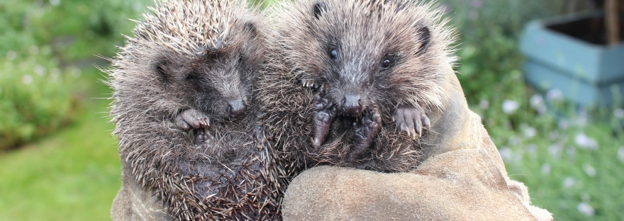 Wild hedgehog rehabilitation
