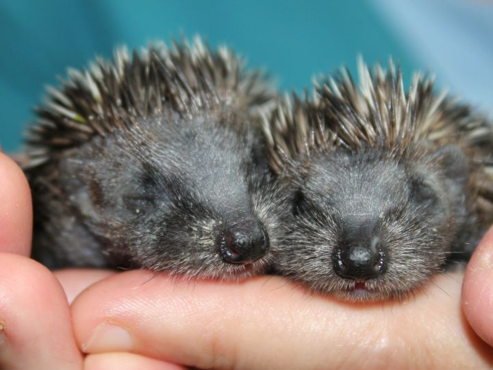 Pair of baby hoglets by Little Silver Hedgehog