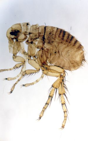 Hedgehog flea