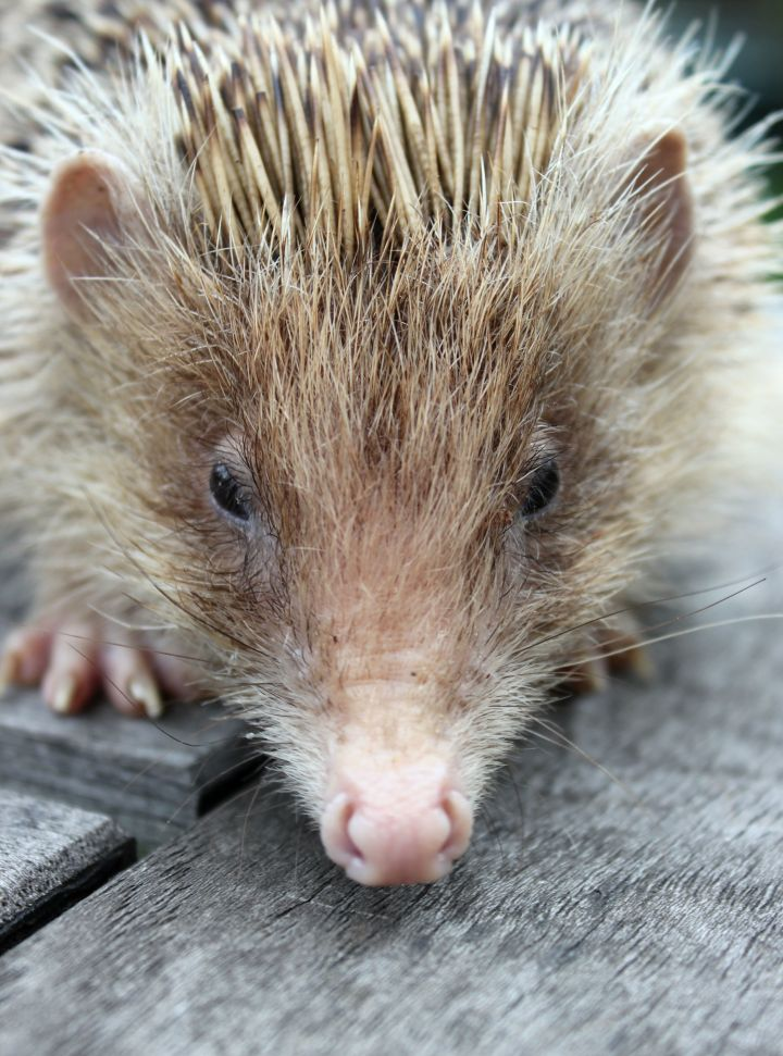 Blonde wild hedgehog