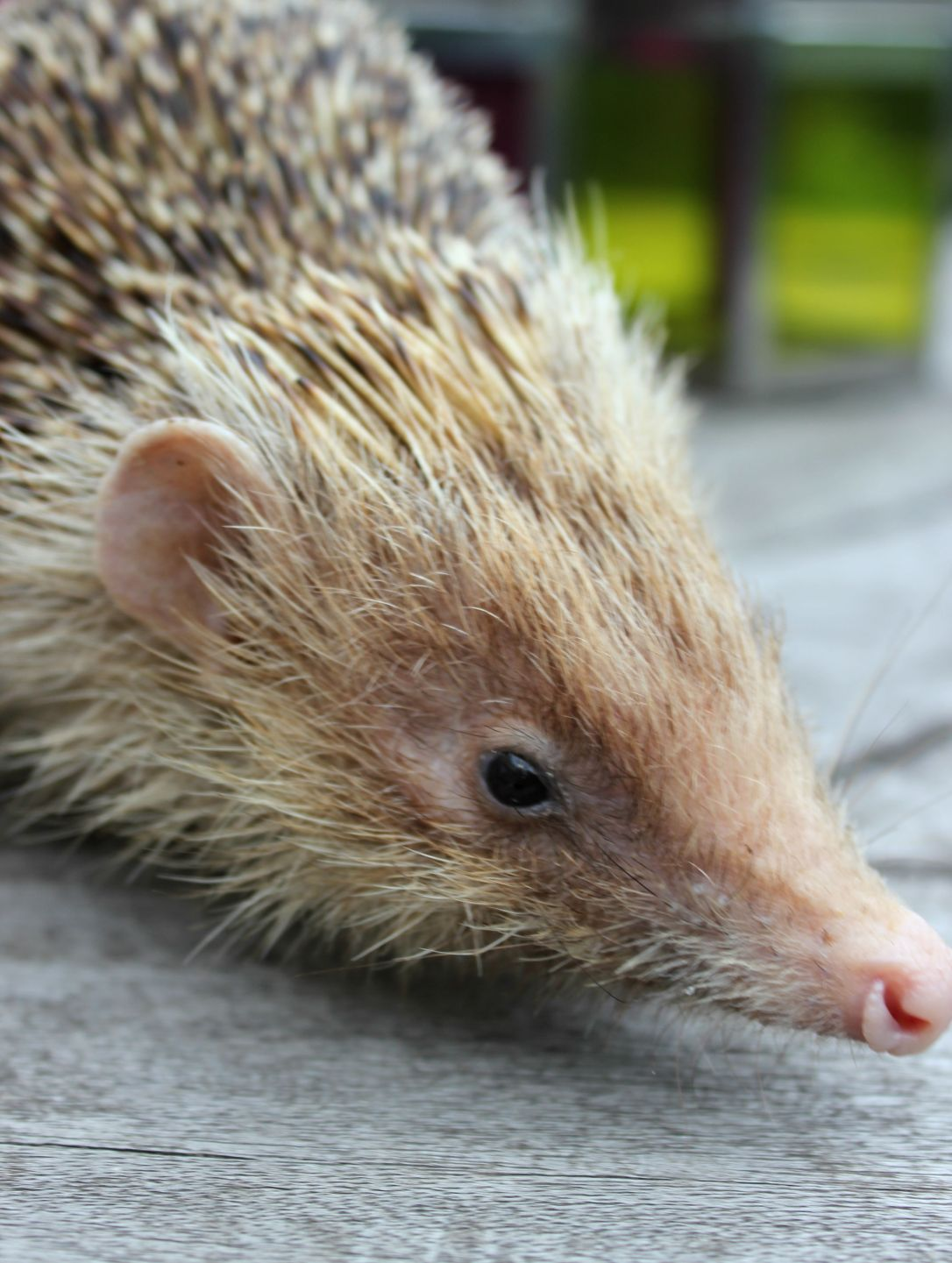 Dark blonde wild hedgehog