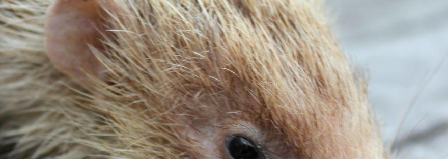 blonde wild hedgehog, leucistic wild hedgehog