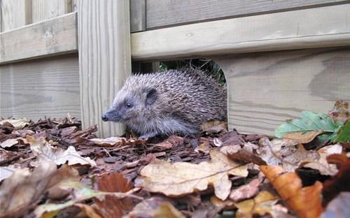 Hedgehog friendly fencing