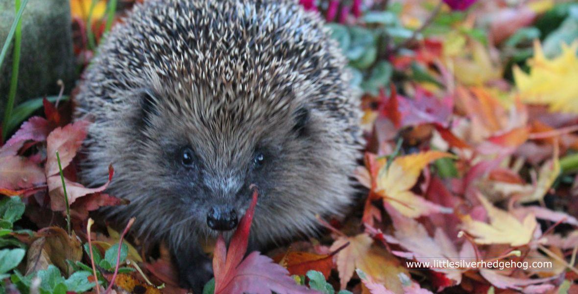 Wild hedgehog Autumn leaves