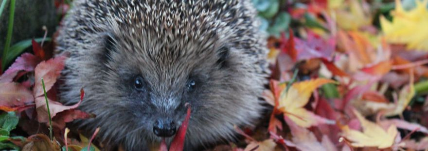 Wild hedgehog Autumn leaves