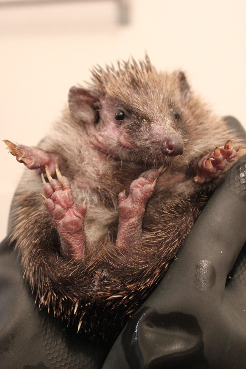 Hedgehog ringworm mange treatment