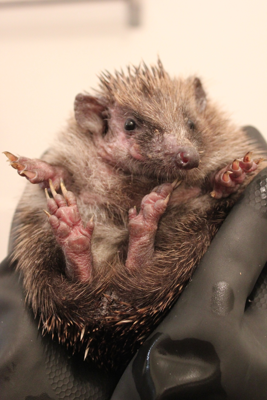 Hedgehog ringworm mange treatment