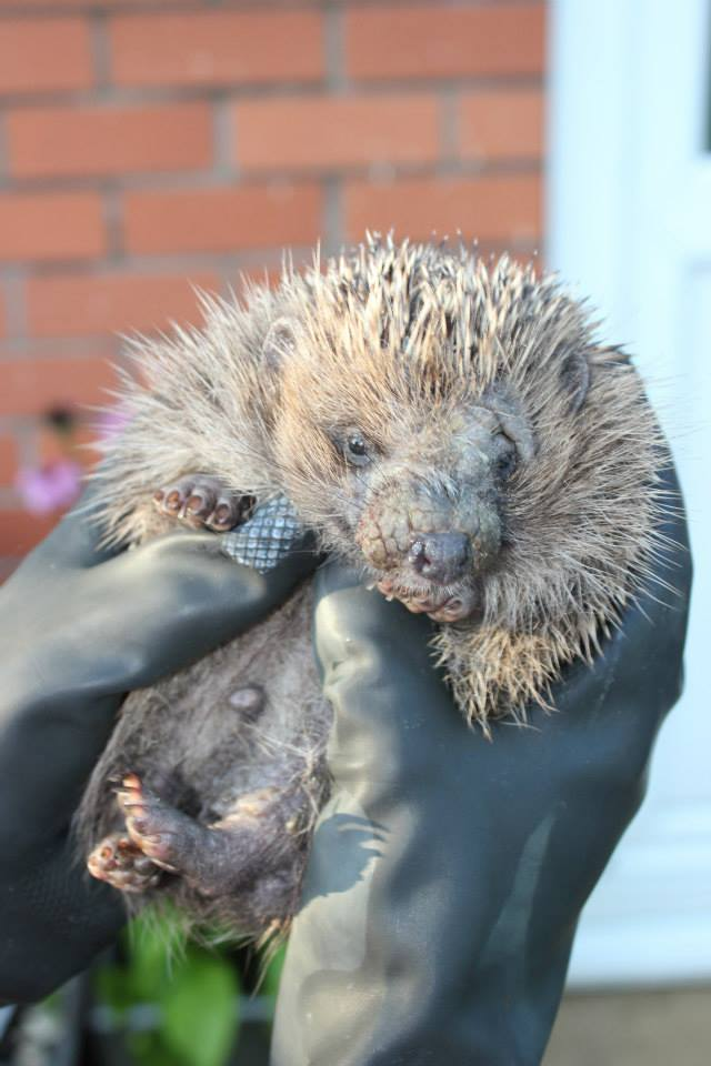 Ringworm and mange hedgehog