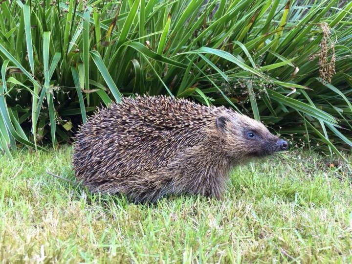 Blind wild hedgehog