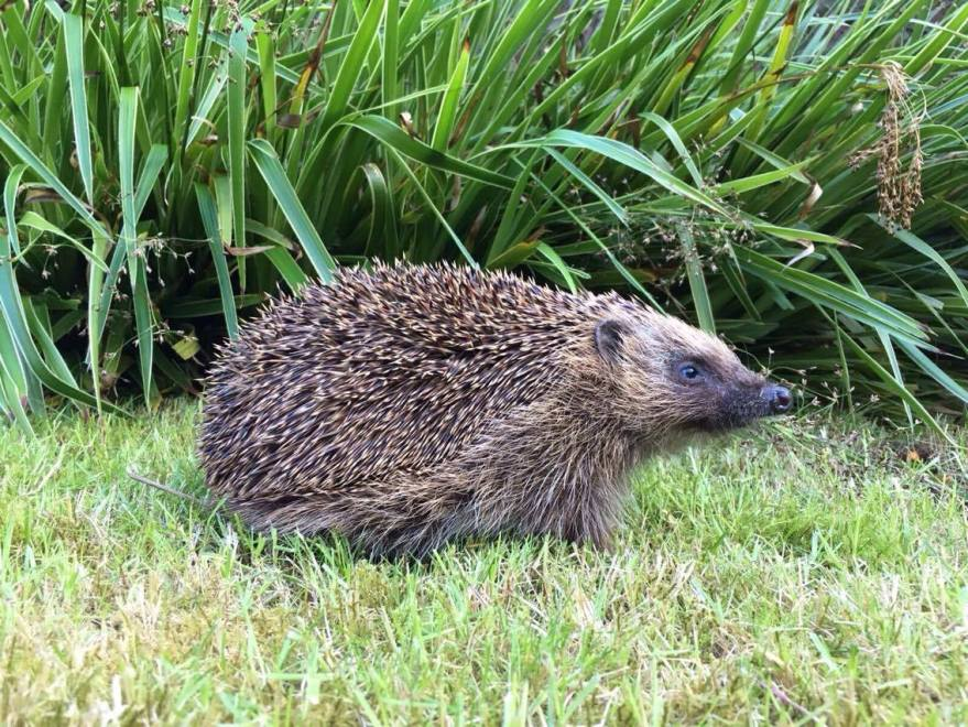 Blind wild hedgehog