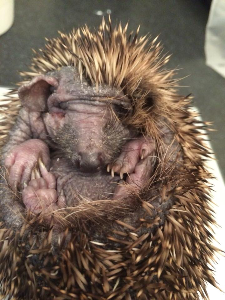 Hedgehog with ringworm and mange