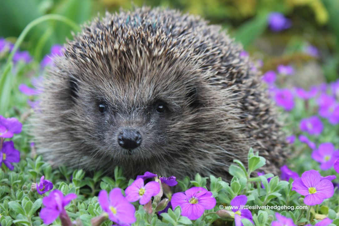Hedgehog in the spring garden front view