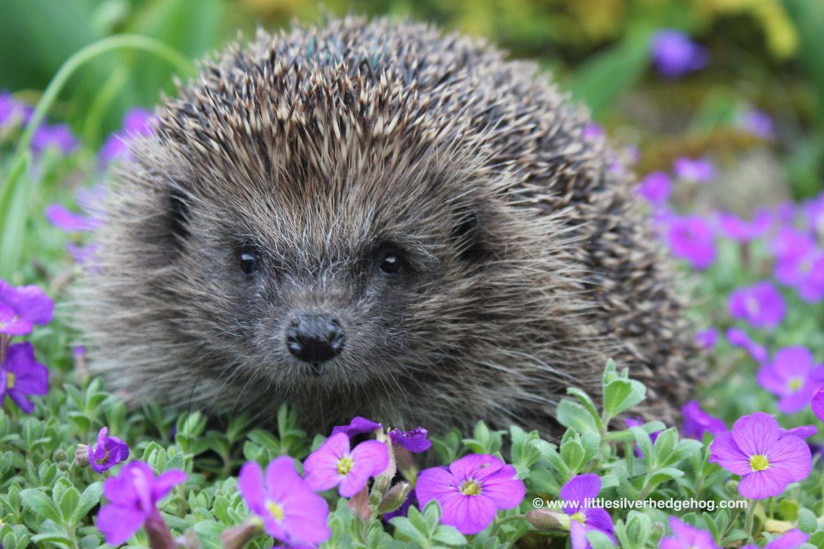 Hedgehog in the spring garden
