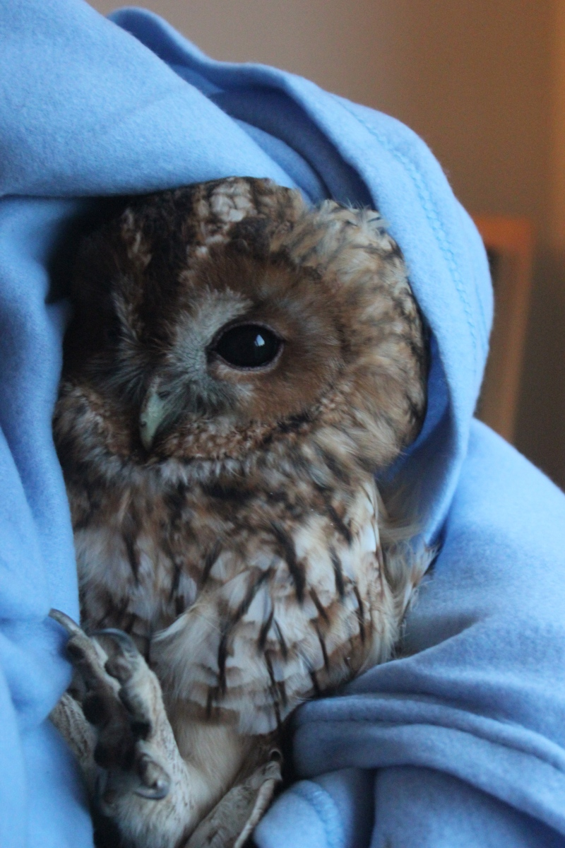 Tawny owl who fell down my chimney