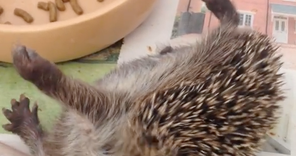 Hedgehog self annointing