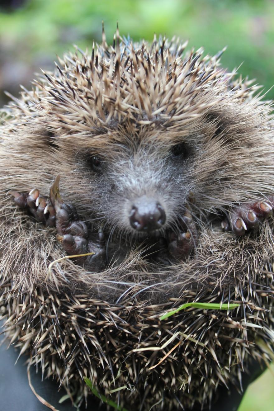 Round hedgehog