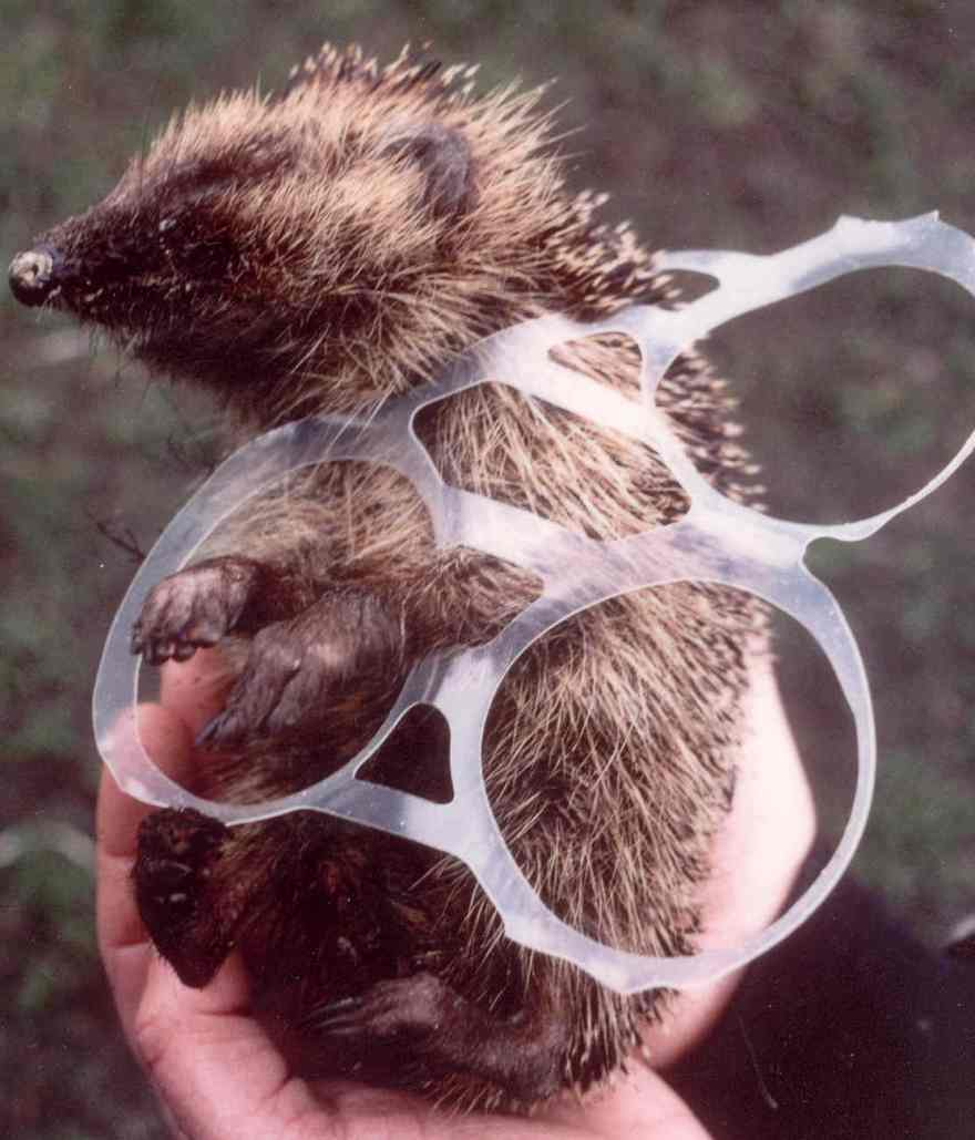 Hedgehog trapped in plastic rubbish