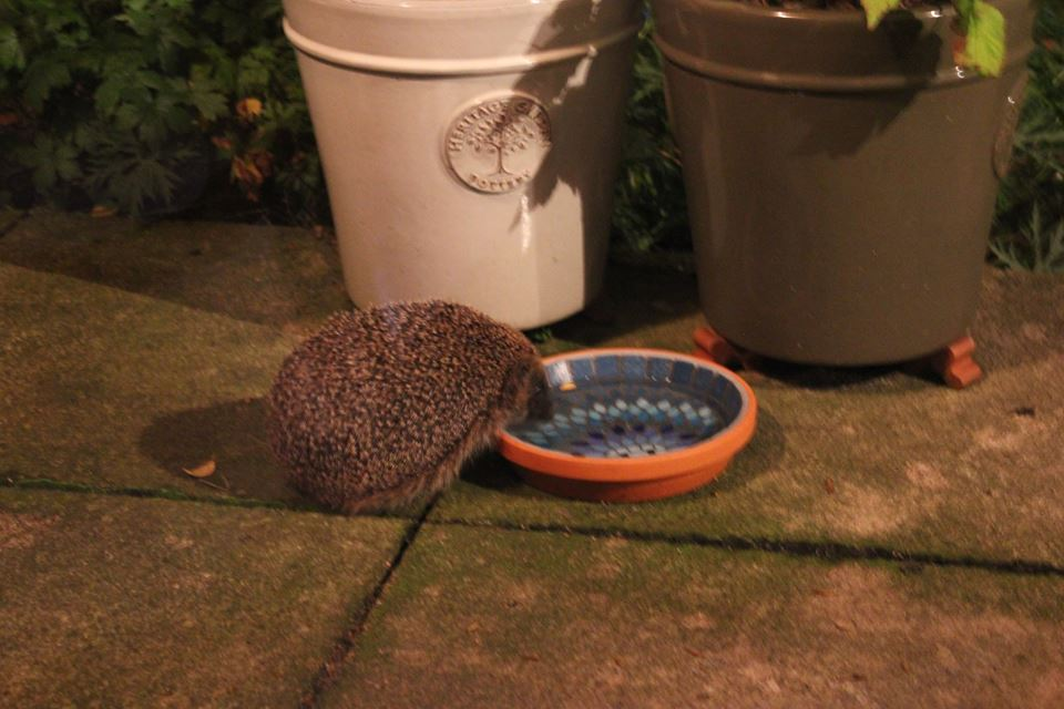 Hedgehog drinking from water bowl