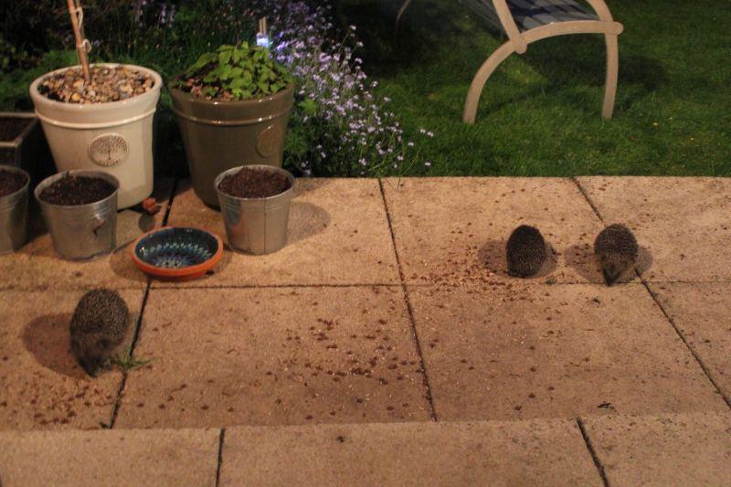 Wild hedgehogs in garden