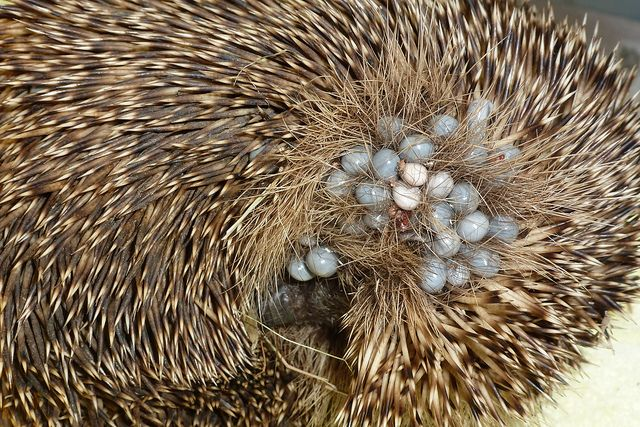 Hedgehog with ticks on face