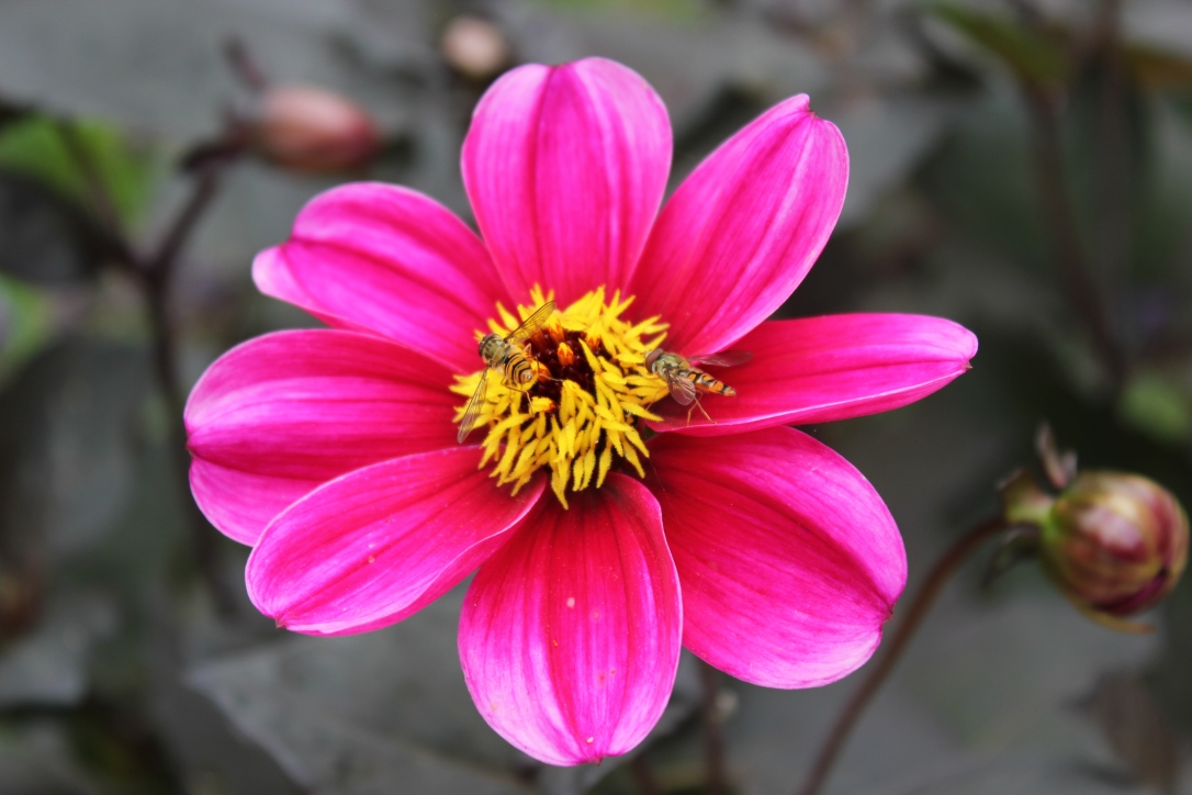 Dahlia and hoverflies
