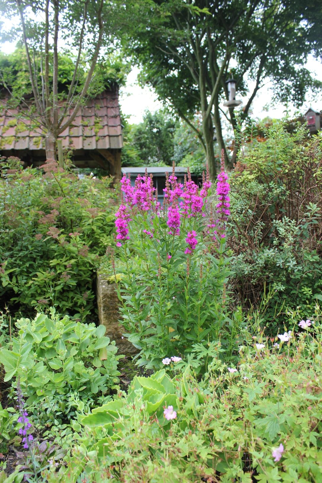 Purple loosestrife in the wildlife garden