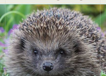 Help save our wild hedgehogs by Little Silver Hedgehog