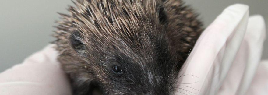 Baby wild hedgehog