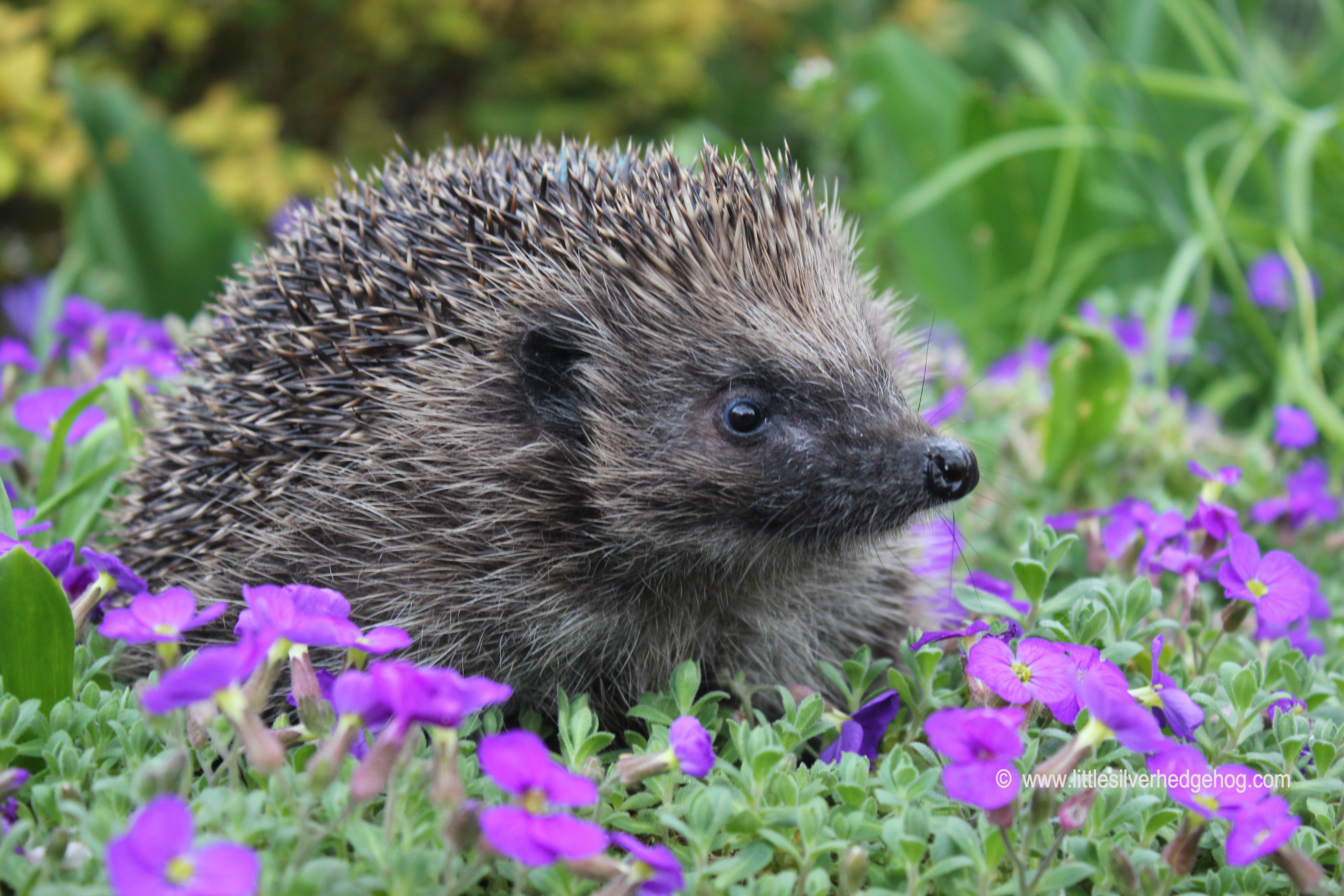 Hedgehog in the spring garden side on.JPG